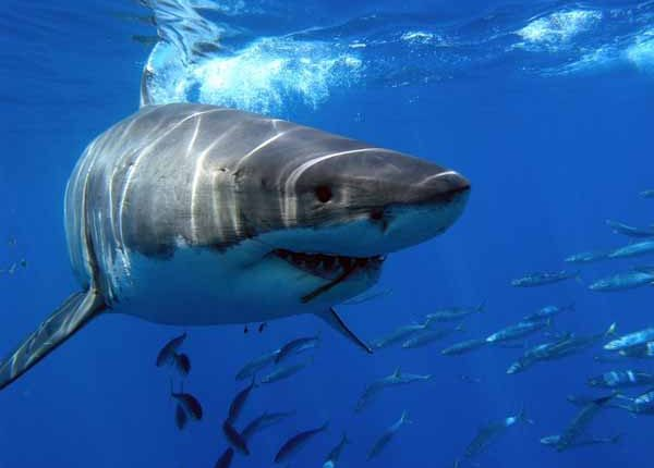 tiburonblanco