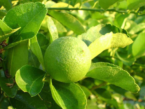 limonpersa