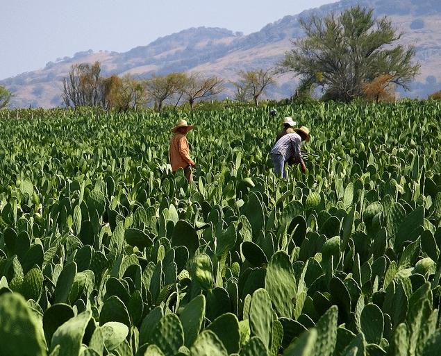 Morelos exporta la mayor parte de su producci n de nopal for Produccion de plantas ornamentales pdf