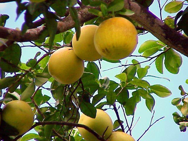 fruto-de-tosagua-toronja