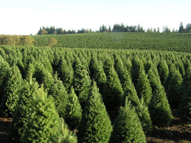 Productores de pinos ven futuro prometedor en bosques de - Arboles de navidad diferentes ...
